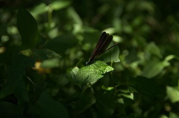 Calopteryx atrata-1