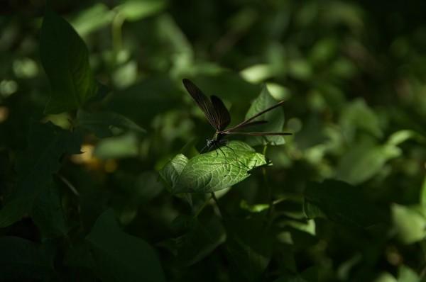 Calopteryx atrata-2