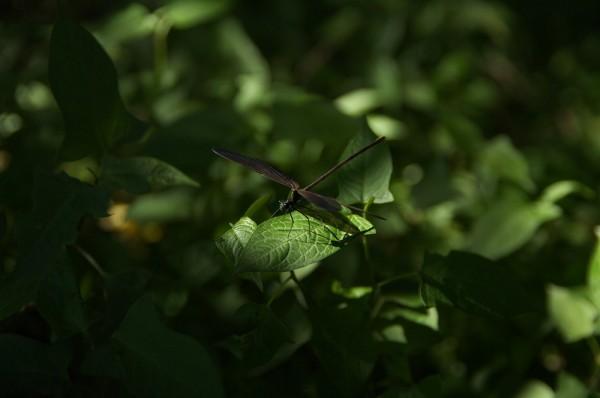 Calopteryx atrata-3