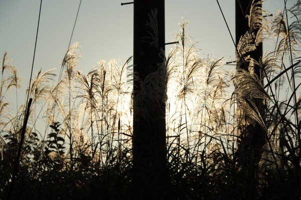 Japanese pampas grass-1