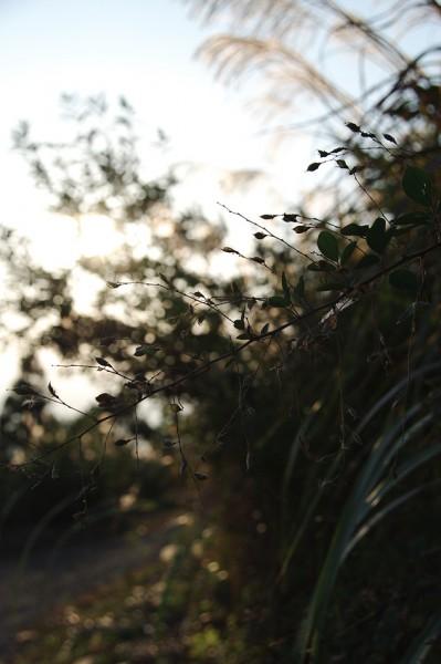 Japanese pampas grass-2