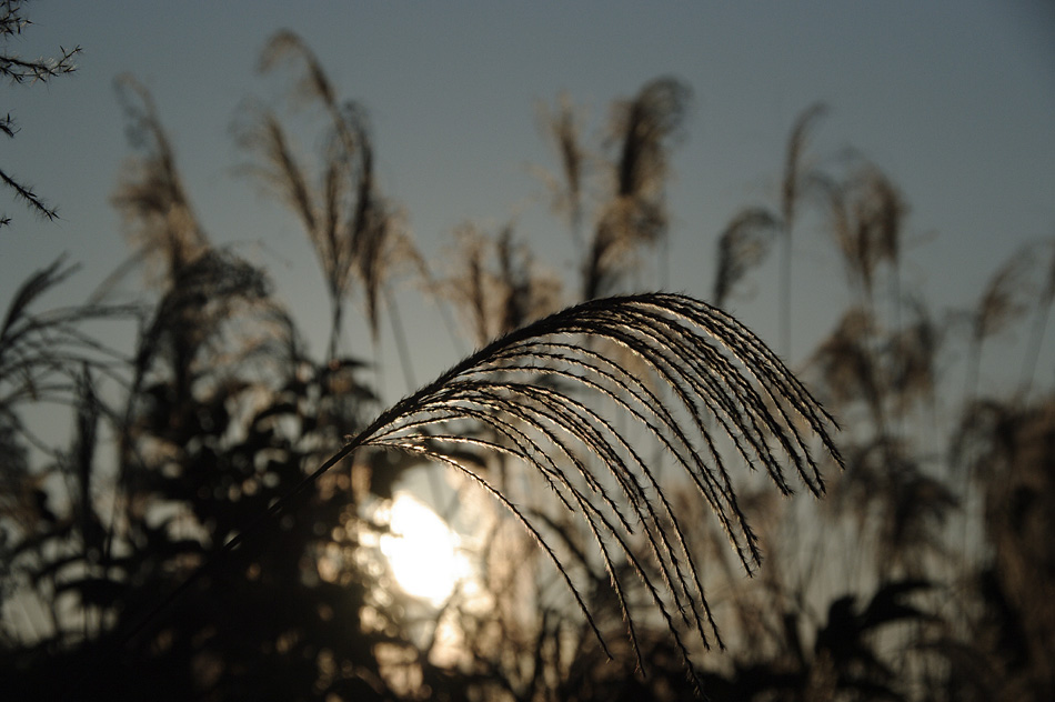 Japanese pampas grass-4