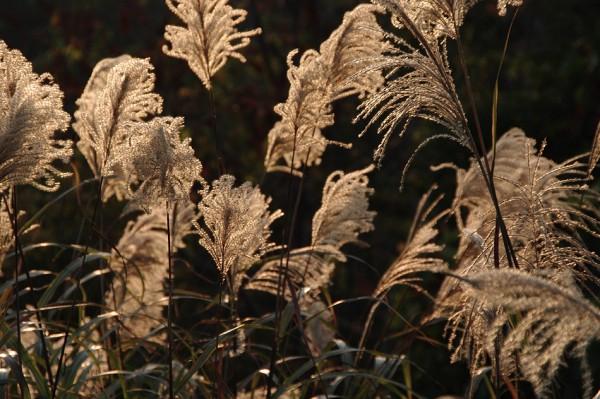 Japanese pampas grass-5